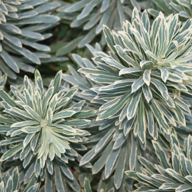 Euphorbia Silver Swan  ] 9319585027489 - Flower Power