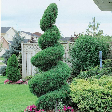 Juniperus Spartan Topiary Spiral  ] 9319585036078 - Flower Power