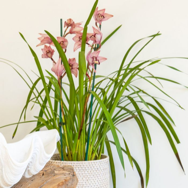 Cymbidium 2 Spike Orchid  ] 9319620000019P - Flower Power