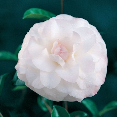 Camellia Japonica Nuccio's Pearl  ] 9319762001608P - Flower Power