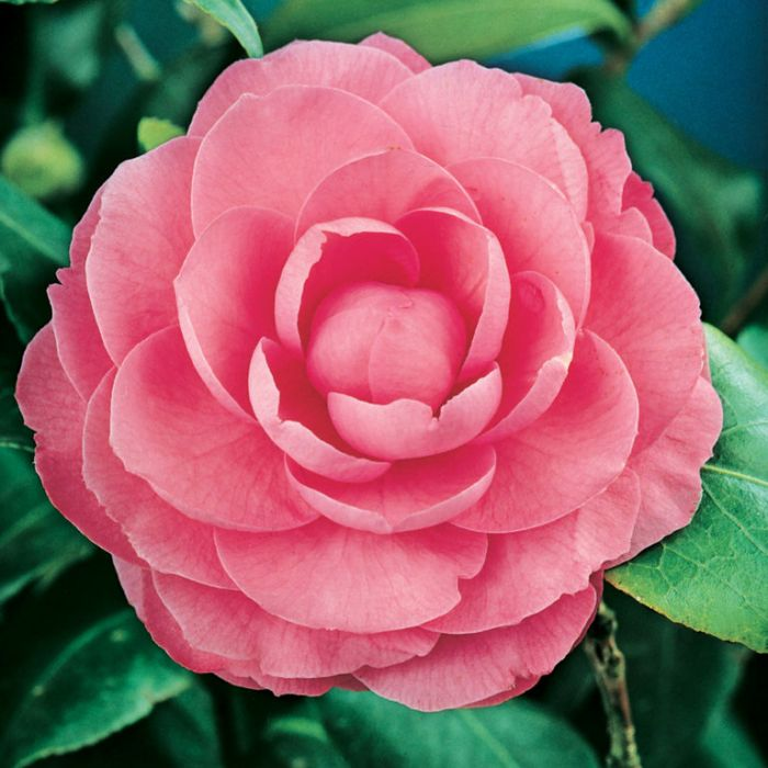 Camellia Japonica William Bull  ] 9319762002025P - Flower Power