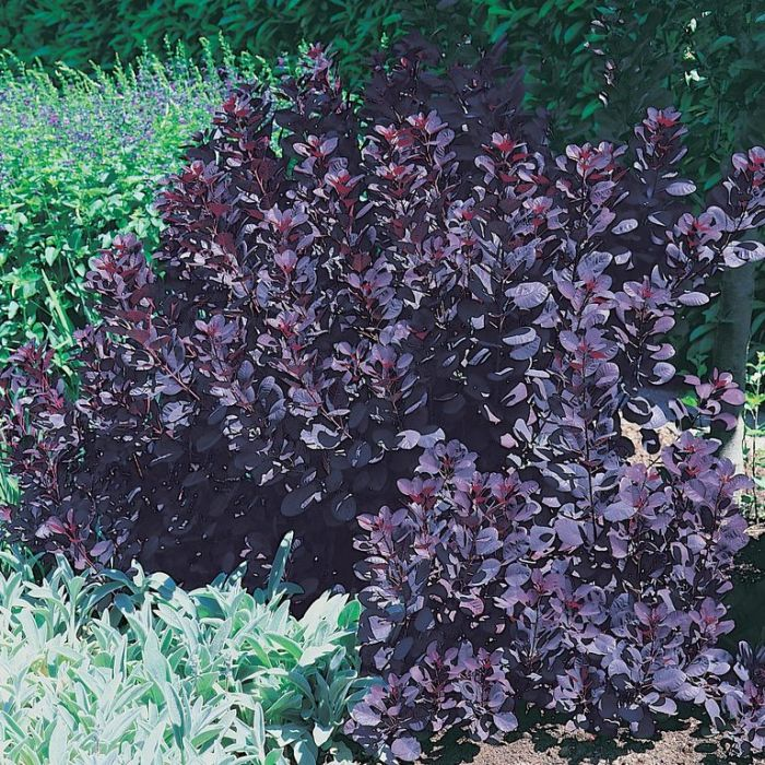 Purple Smoke Bush  ] 9319762002209 - Flower Power