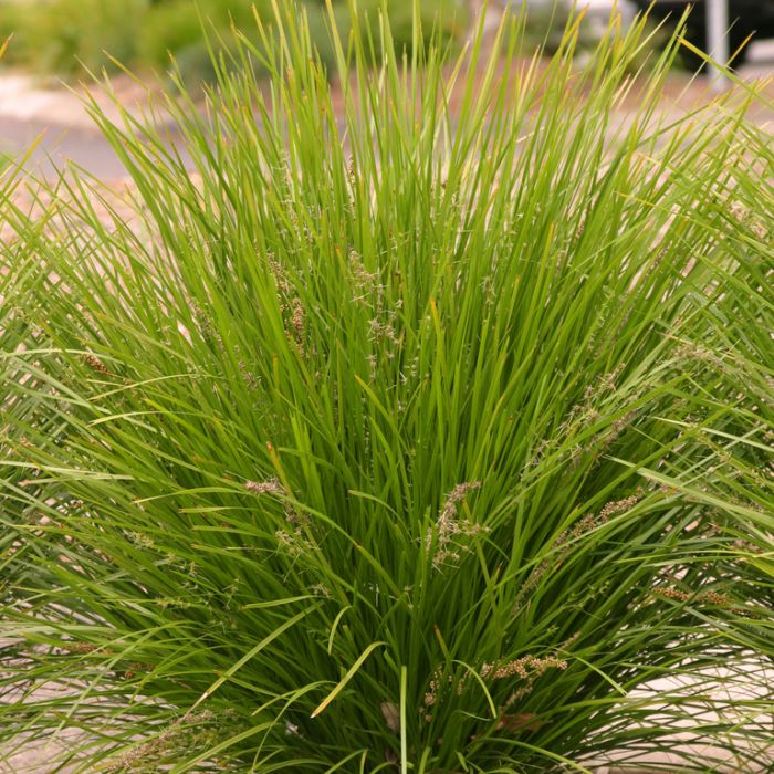 Lomandra Lime Tuff  ] 9319762103197P - Flower Power