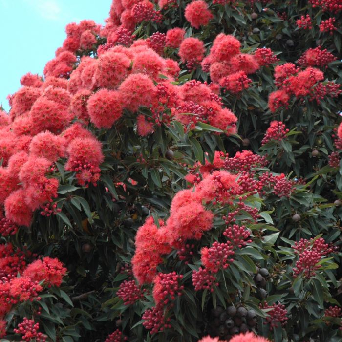 Flowering Gum Calypso  ] 9319762709672 - Flower Power