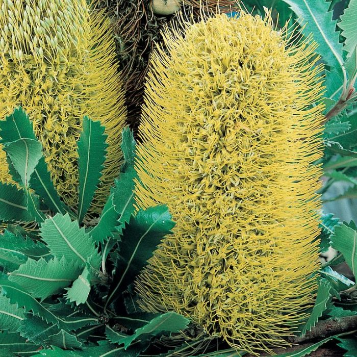 Banksia Serrata  ] 9319980006409P - Flower Power
