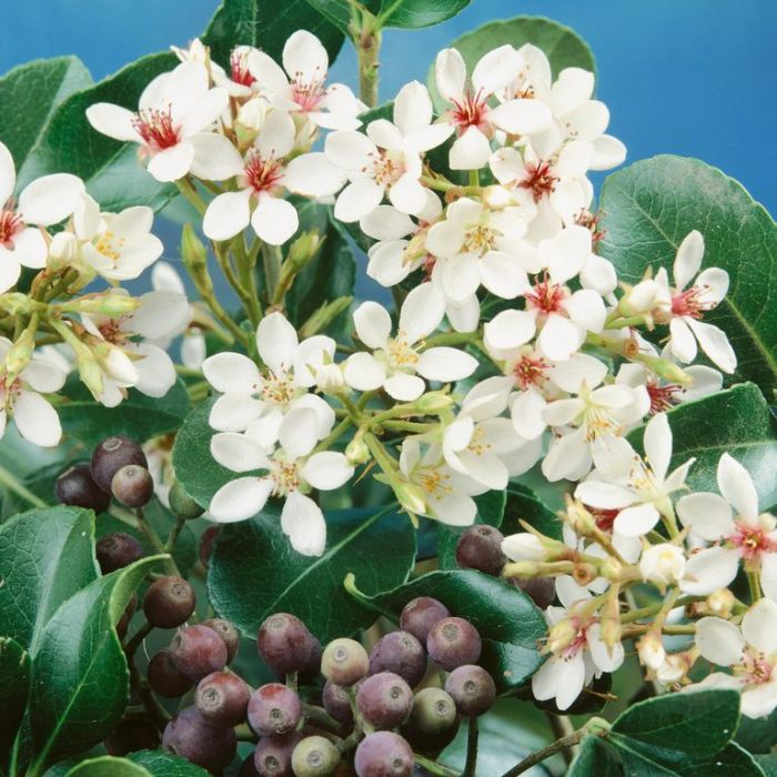 Indian Hawthorn  ] 9319980268562P - Flower Power