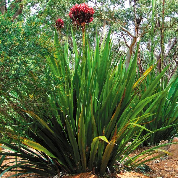 Doryanthes Excelsa  ] 9319980339866P - Flower Power