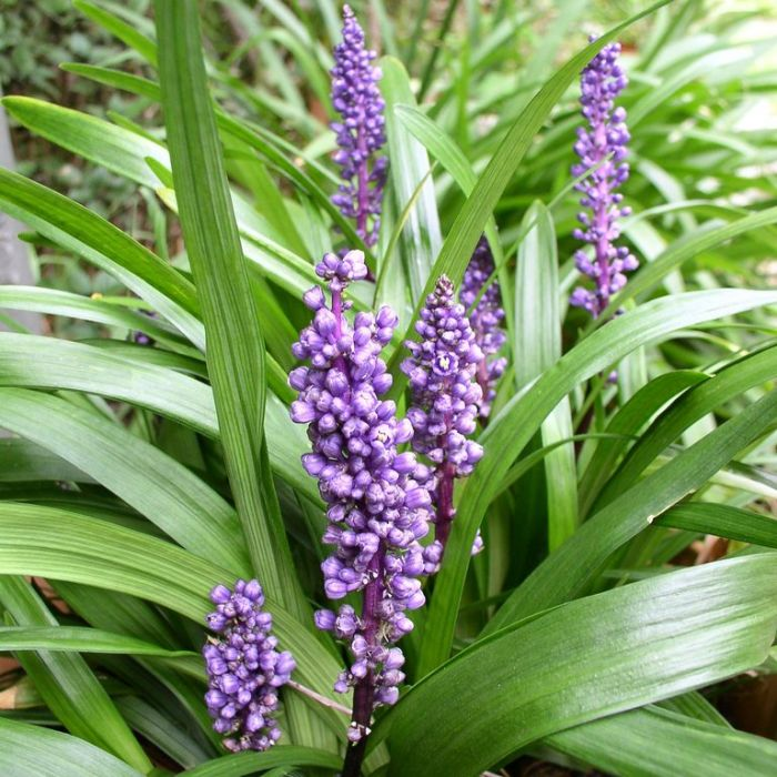 Liriope Royal Purple  ] 9319980354401 - Flower Power