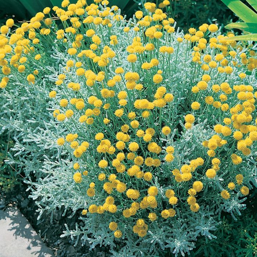 Santolina Chamaecyparissus  ] 9319980377776 - Flower Power