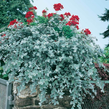 Helichrysum petiolare  ] 9319980390874 - Flower Power