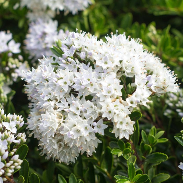 Hebe Buxifolia  ] 9321846000865P - Flower Power