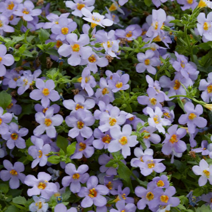 Bacopa Bluetopia  ] 9321846017092P - Flower Power