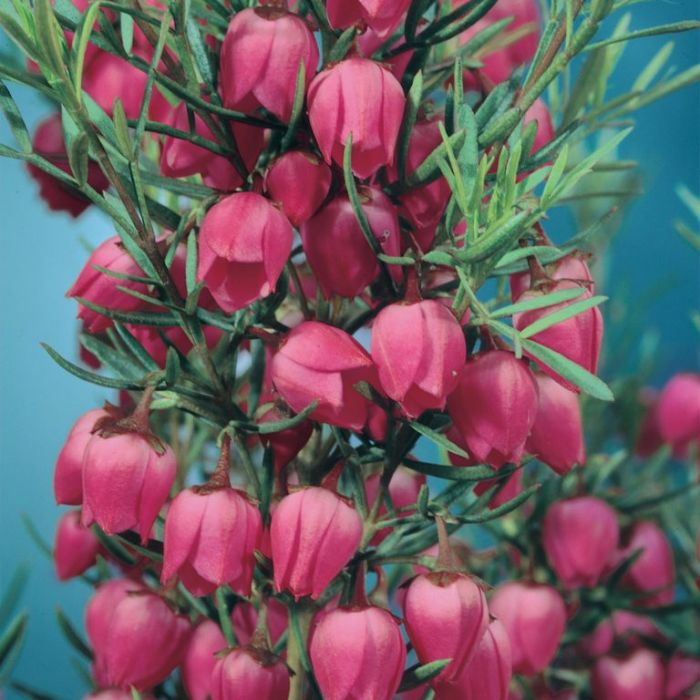 Boronia Heterophylla  ] 9321846022089 - Flower Power