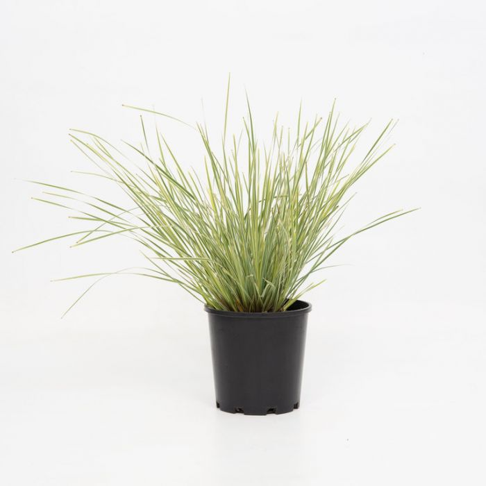 Lomandra White Sands  ] 9321846026476P - Flower Power