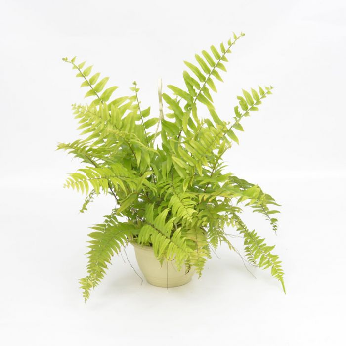 Macho Boston Fern  ] 9324228000620P - Flower Power