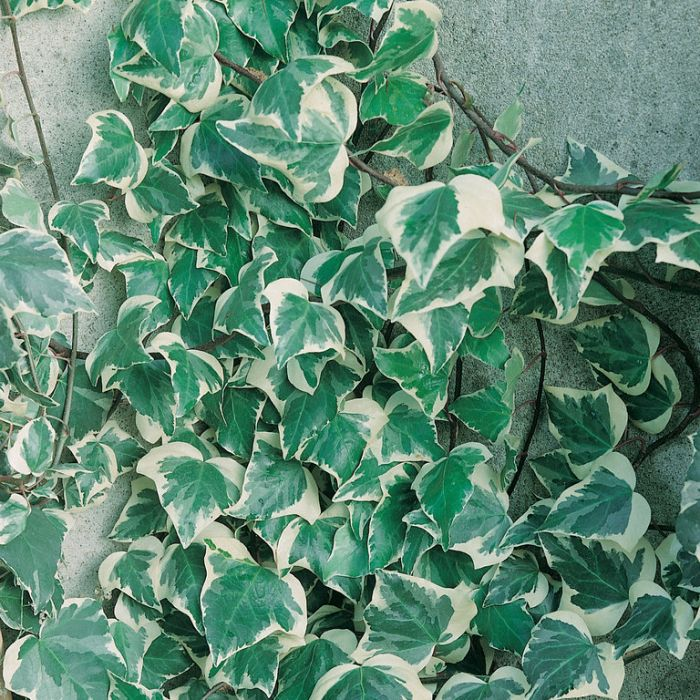 Hedera Variegated Ivy  ] 9324228001085P - Flower Power