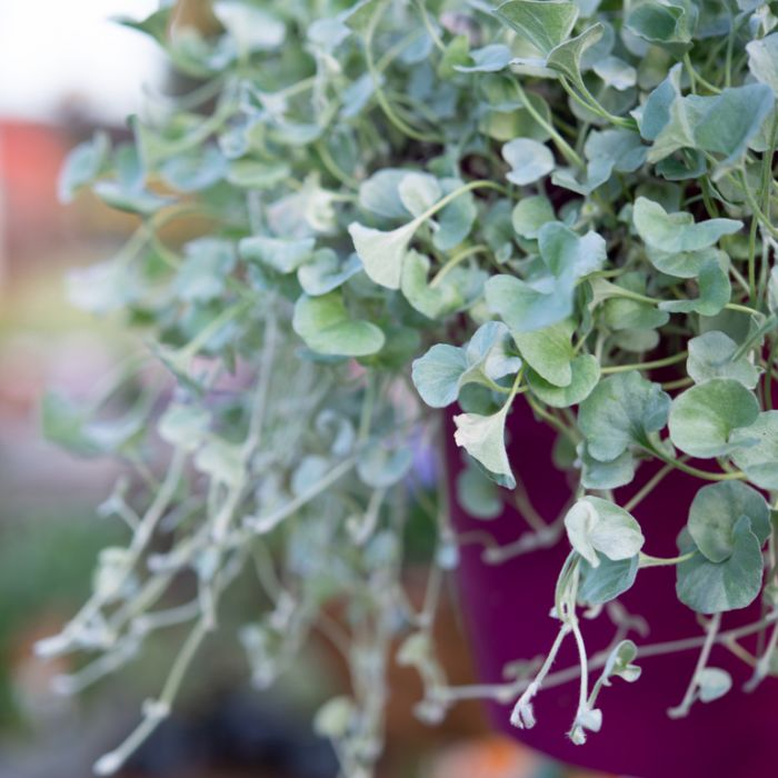 Dichondra Silver Fall Hanging Basket  ] 9324228003072P - Flower Power
