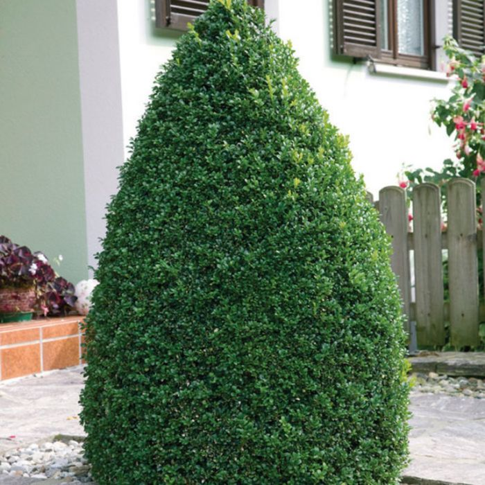 English Box Topiary Cone  ] 9324787000277P - Flower Power