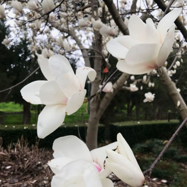 Magnolia Denudata  ] 9324787002004P - Flower Power
