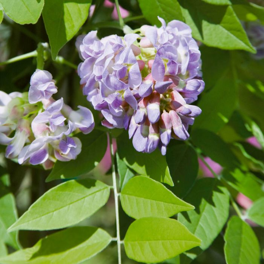 Wisteria 'Amethyst Falls'  ] 9324787005135P - Flower Power