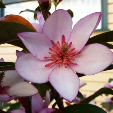 Magnolia Pink Pearl  ] 9324787008815 - Flower Power