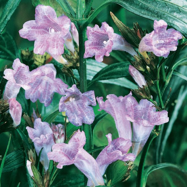 Strobilanthus Anisophylla  ] 9324806002404 - Flower Power