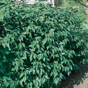 Prunus Lusitanica  ] 9324806010638P - Flower Power