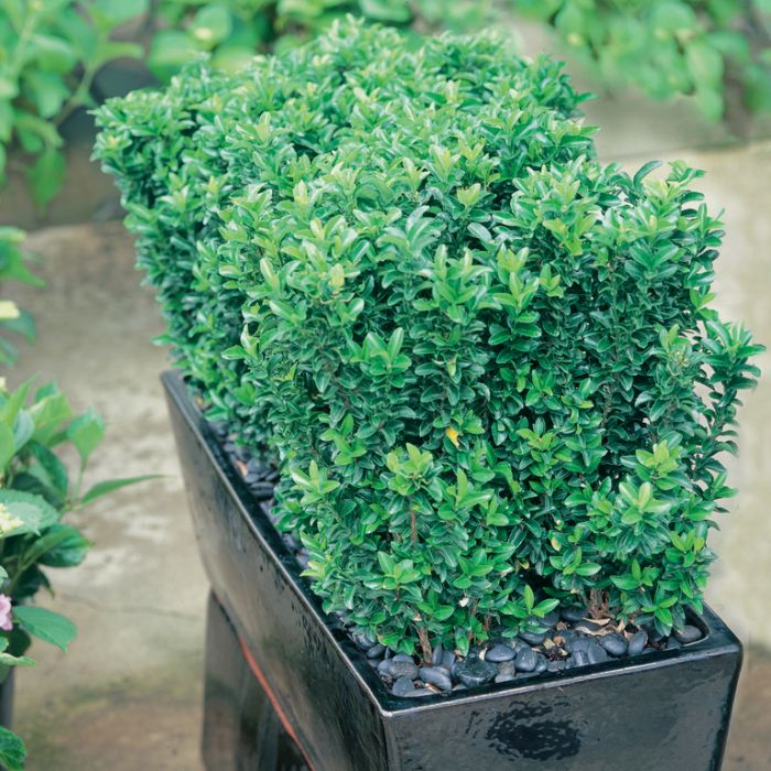 Euonymus Green Rocket  ] 9324806011666 - Flower Power