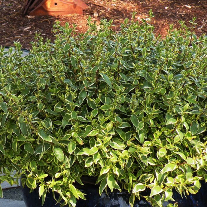 Abelia Lime Splice  ] 9324806011703P - Flower Power