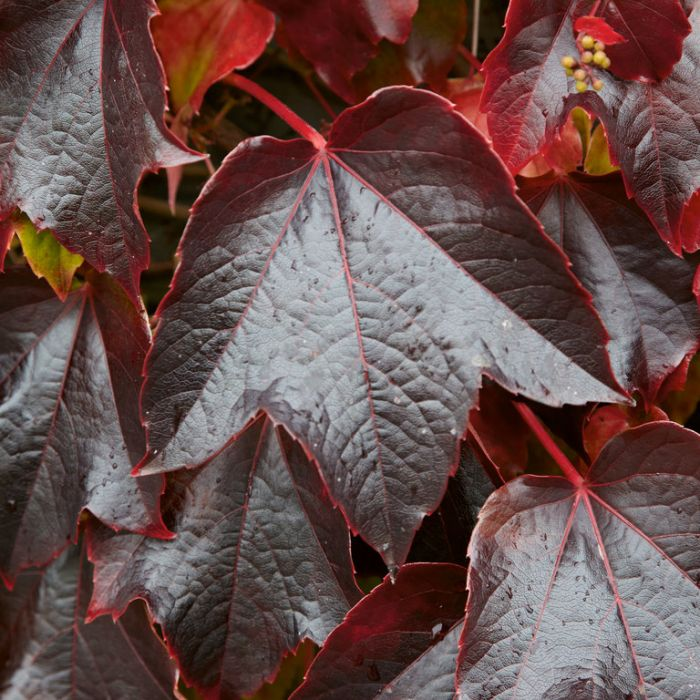 Parthenocissus Boston Ivy  ] 9325621019943 - Flower Power