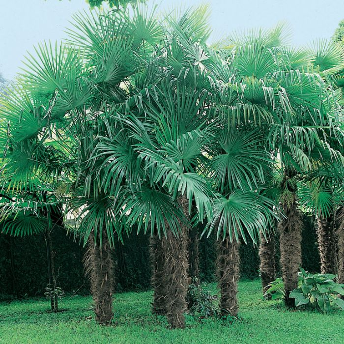 Chinese Windmill Palm  ] 9326974024424P - Flower Power