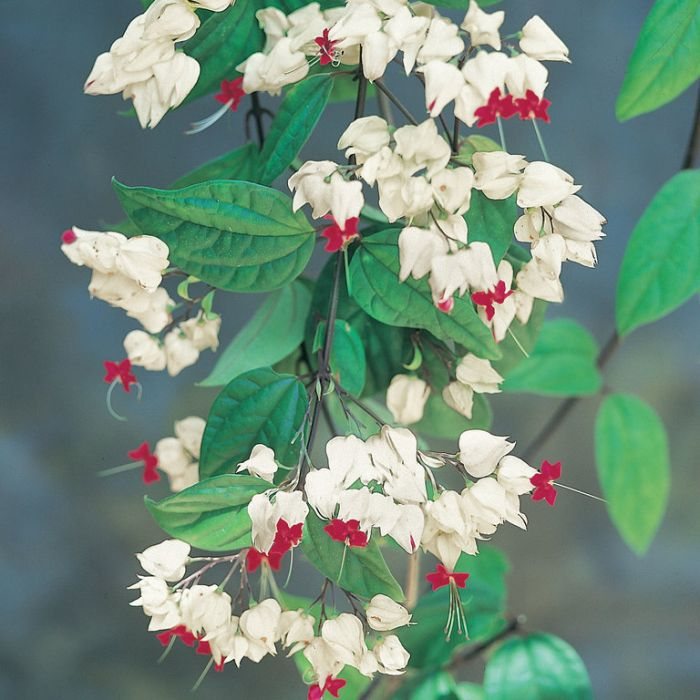 Clerodendrum Bleeding Heart  ] 9326974039299 - Flower Power