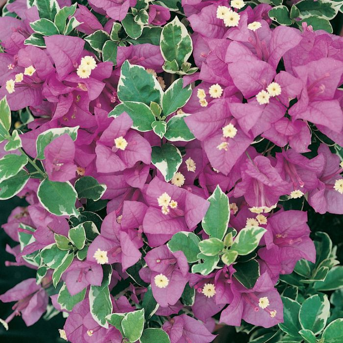 Bougainvillea Blueberry Ice  ] 9326974057309 - Flower Power
