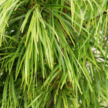Green Screen Narrow-Leaf Bower Wattle  ] 9331225161346P - Flower Power