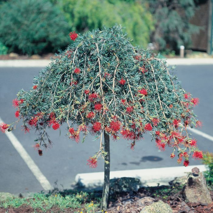 Grevillea Ruby Red Topiary Standard  ] 9331225206955 - Flower Power