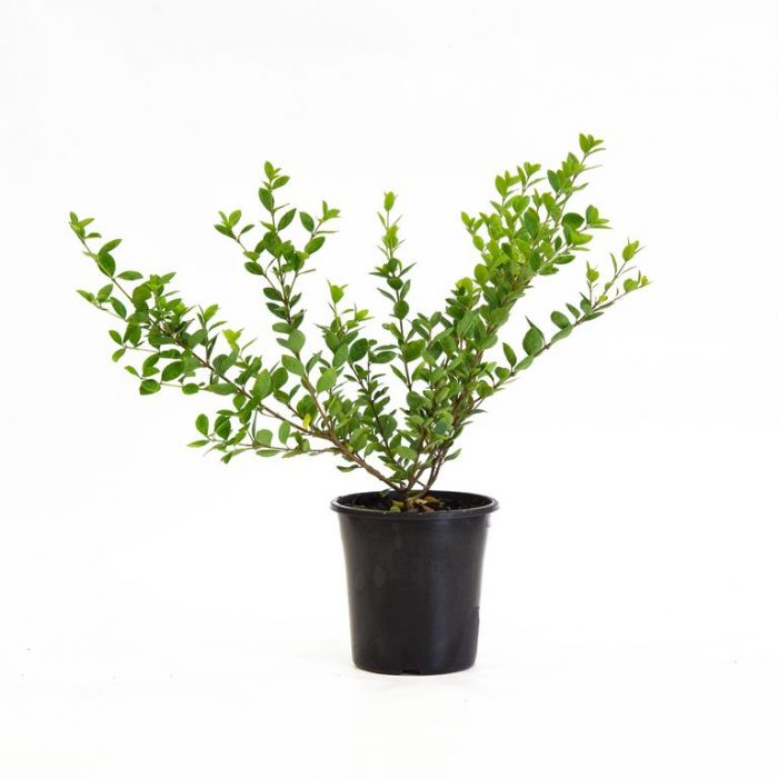 Osmanthus Pearly Gates  ] 9331225227455 - Flower Power