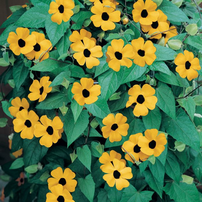 Thunbergia Alata  ] 9331769000361 - Flower Power