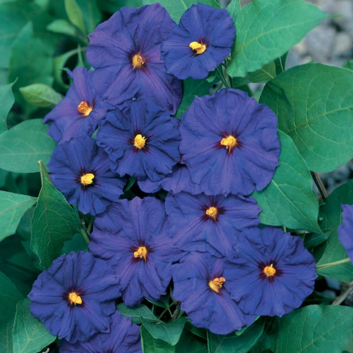 Blue Solanum 'Royal Robe'  ] 9331769001238 - Flower Power