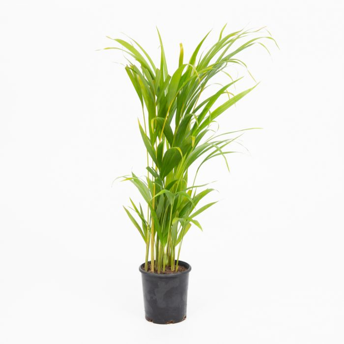 Golden Cane Palm  ] 9336536004832P - Flower Power