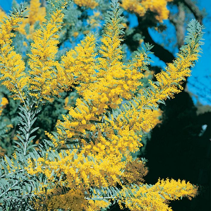 Blue Bush Wattle  ] 9336922000080P - Flower Power
