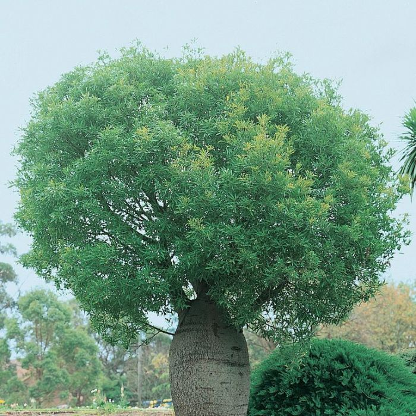 Queensland Bottle Tree  ] 9336922001681P - Flower Power