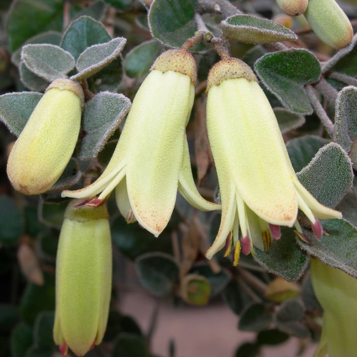 Correa Lemon Twist  ] 9336922002183 - Flower Power