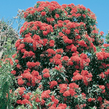 Red Flowering Gum  ] 9336922002930 - Flower Power