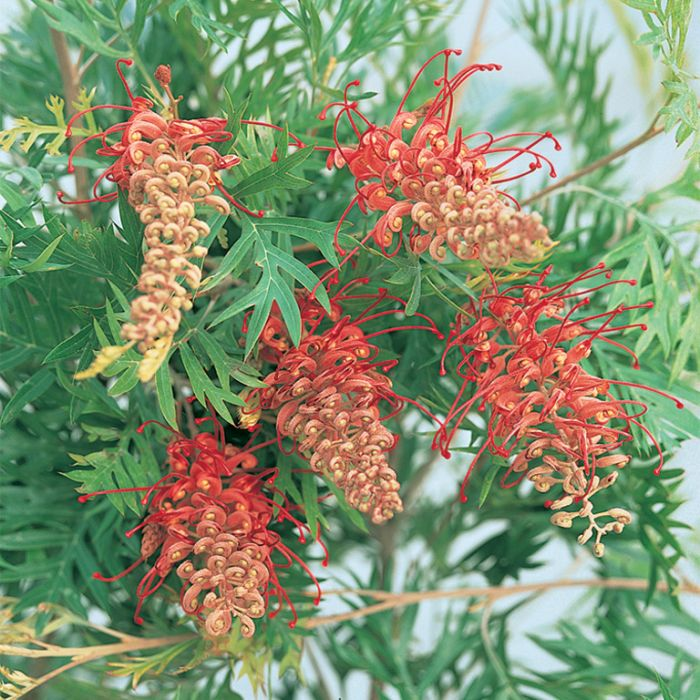 Grevillea - Robyn Gordon  ] 9336922003944P - Flower Power