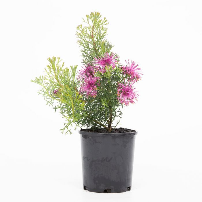 Isopogon Pink Sparkler  ] 9336922004705 - Flower Power