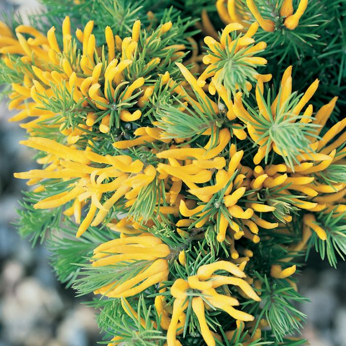 Persoonia chamaepitys  ] 9336922005504 - Flower Power