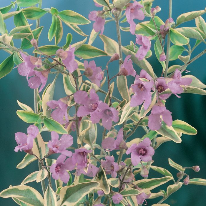 Prostanthera Variegata  ] 9336922005801 - Flower Power