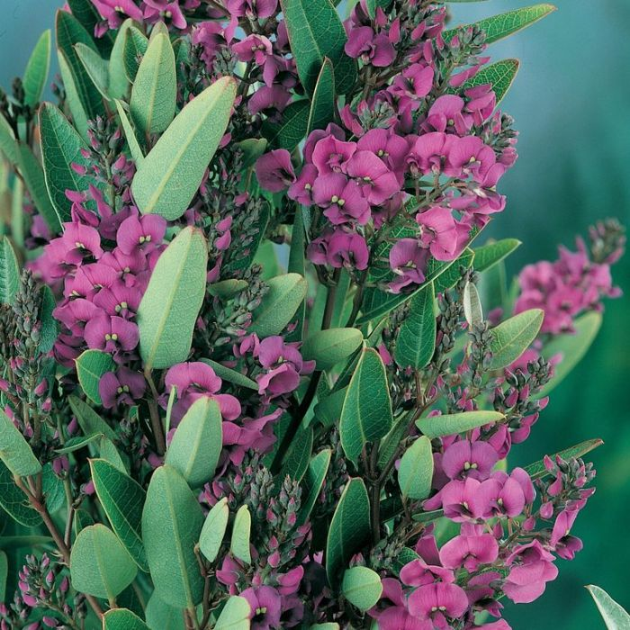 Hardenbergia Mini Ha Ha  ] 9336922010164 - Flower Power