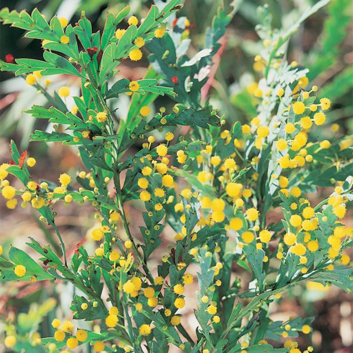 Flat Wattle  ] 9336922010706P - Flower Power