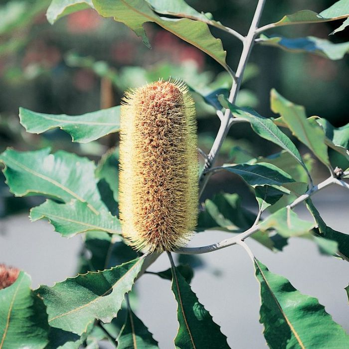 Banksia Robur  ] 9336922011024 - Flower Power